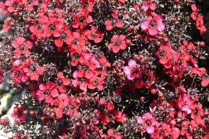 Leptospermum nanum rubrum