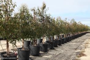 Eucalyptus toditiana