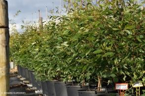 Eucalyptus utilis
