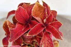 Coleus Velvet Red tray