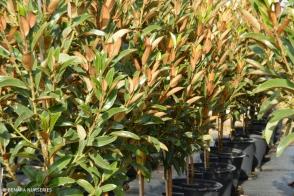 Magnolia Alta (PBR)