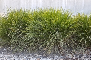 Lomandra Little Lime (PBR)