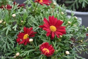 Argyranthemum Super Berry (PBR)