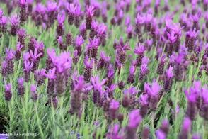 Lavender Sensation Purple (PBR)
