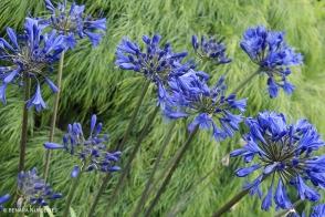 Agapanthus Brilliant Blue (PBR)