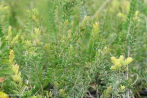 Melaleuca thymoides