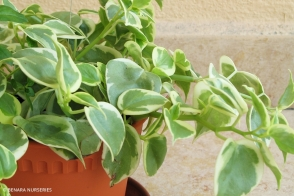Peperomia Scandens Variegated Tray