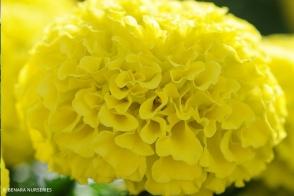 Marigold African Yellow Tray