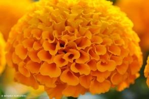 Marigold African Orange Tray