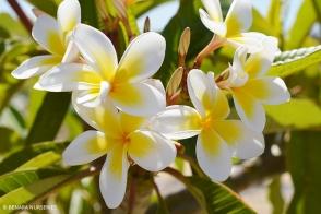 Plumeria Shell White