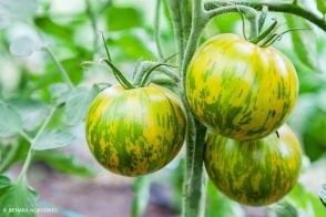 Tomato Green Zebra Diggers Tray