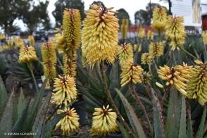 Aloe Southern Cross (PBR)