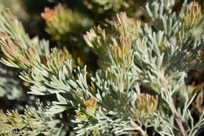 Adenanthos cunningham. prostrate