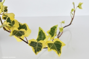 Hedera Gold Heart