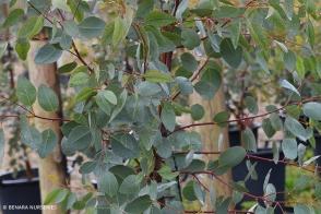Eucalyptus decipiens