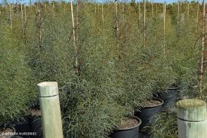 Eucalyptus spathulata
