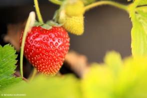 Strawberry Tioga Tray