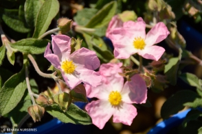 Cistus Grayswood Pink